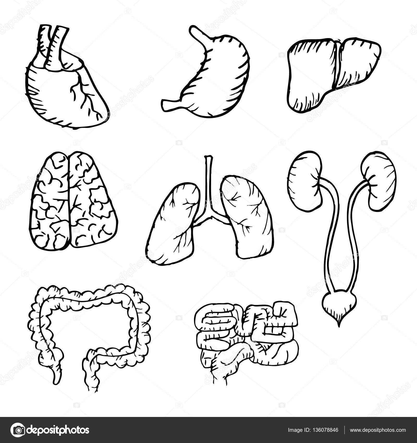 Human Organs Drawing At Getdrawings