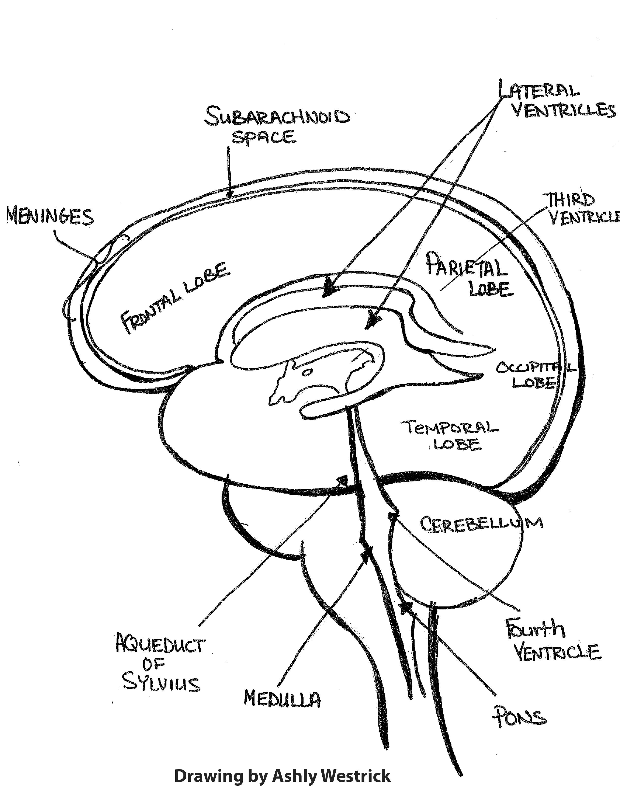 Human Organs Drawing At Getdrawings