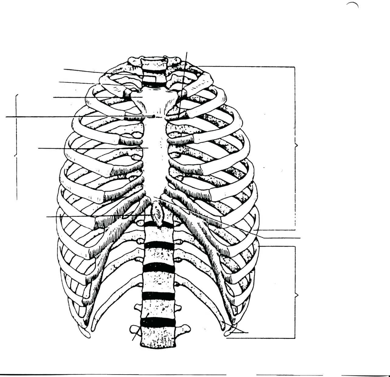 How To Draw A Rib Cage