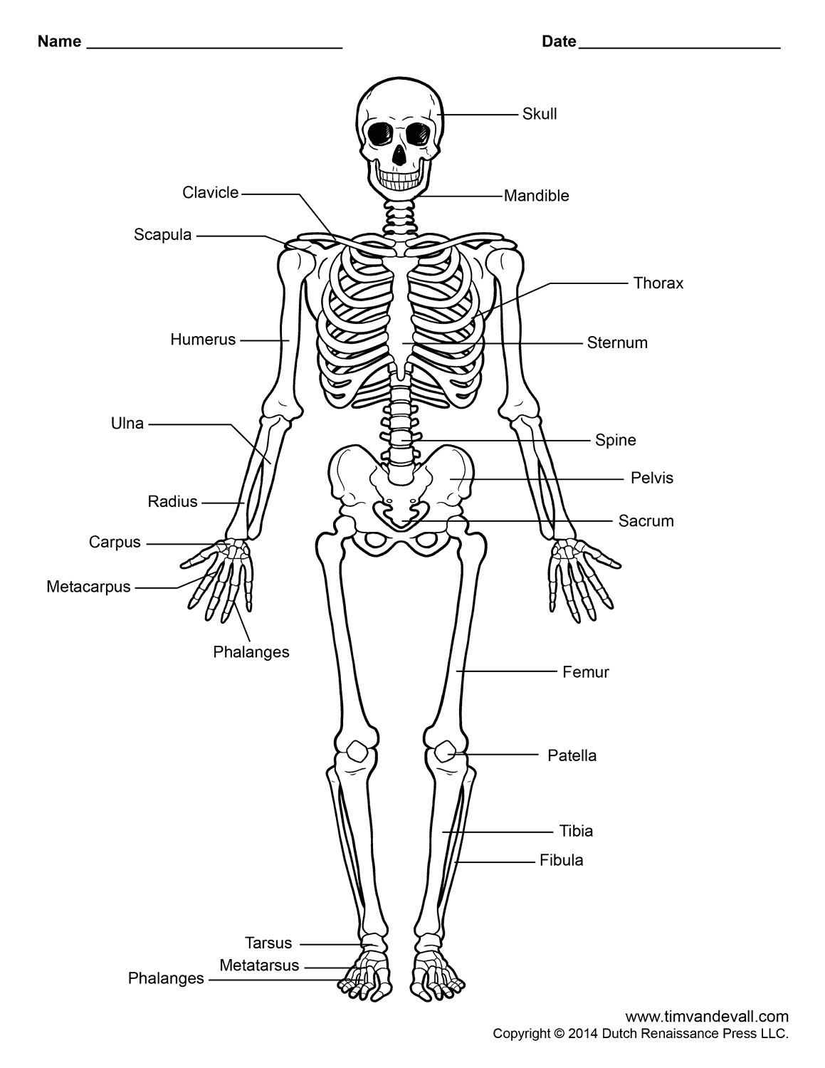 The Best Free Skeletal Drawing Images Download From 260