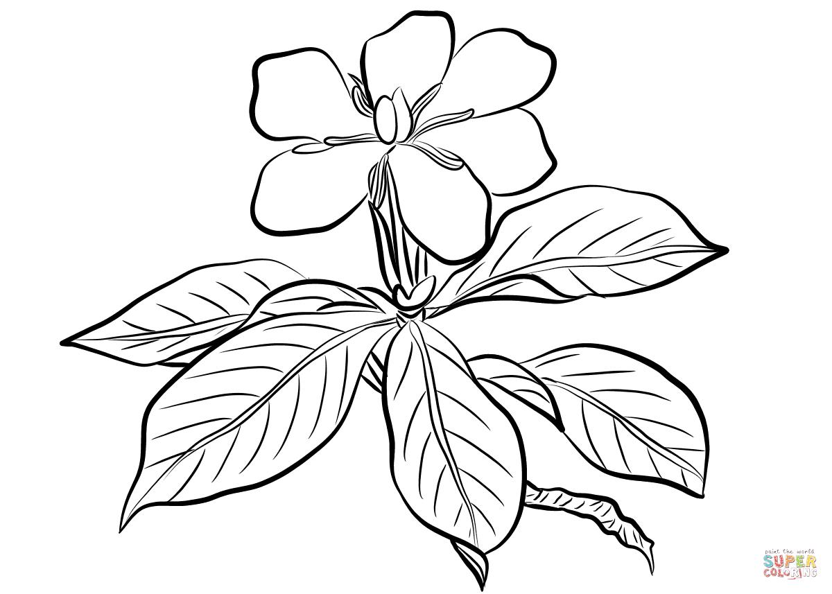 Jasmine Flower Botanical Drawing At Getdrawings