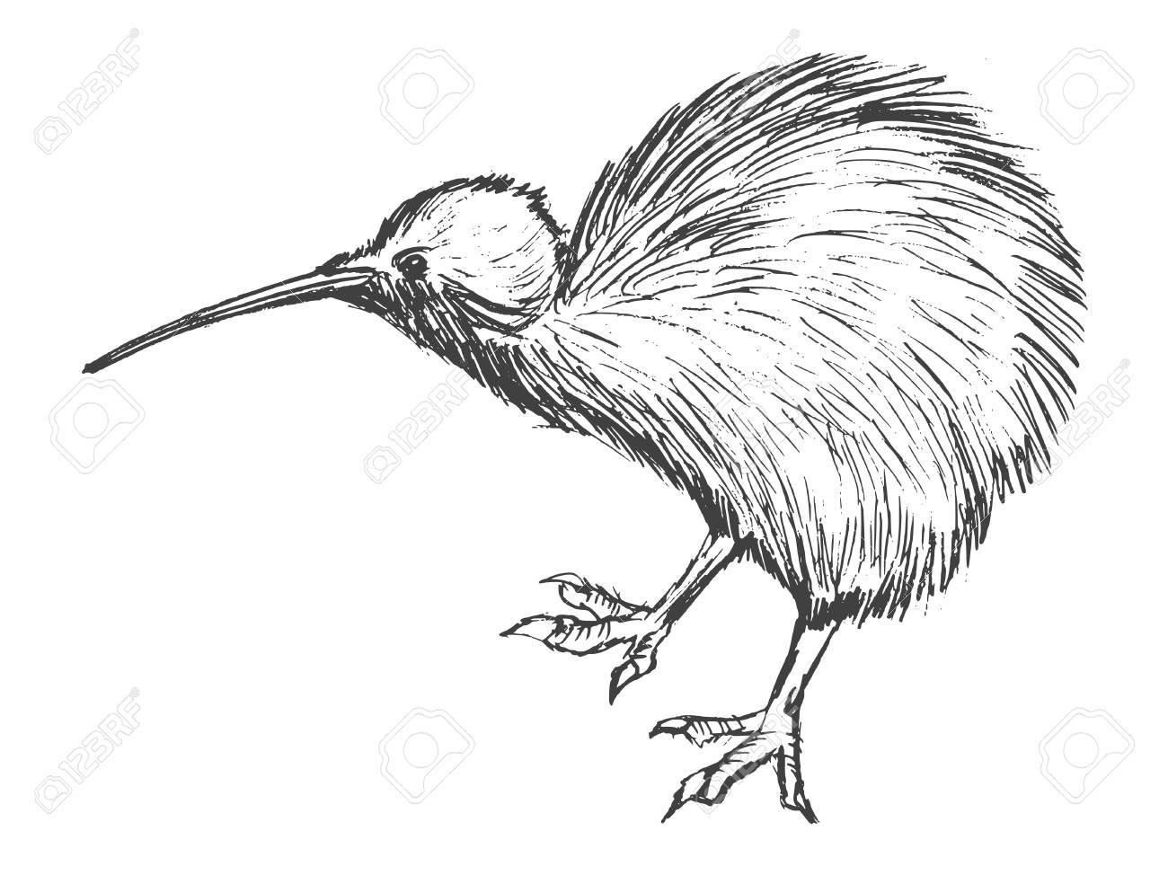 Kiwi Bird Drawing At Getdrawings