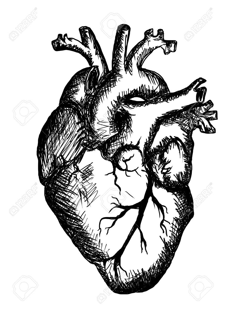 Labeled Drawing Of The Heart At Getdrawings