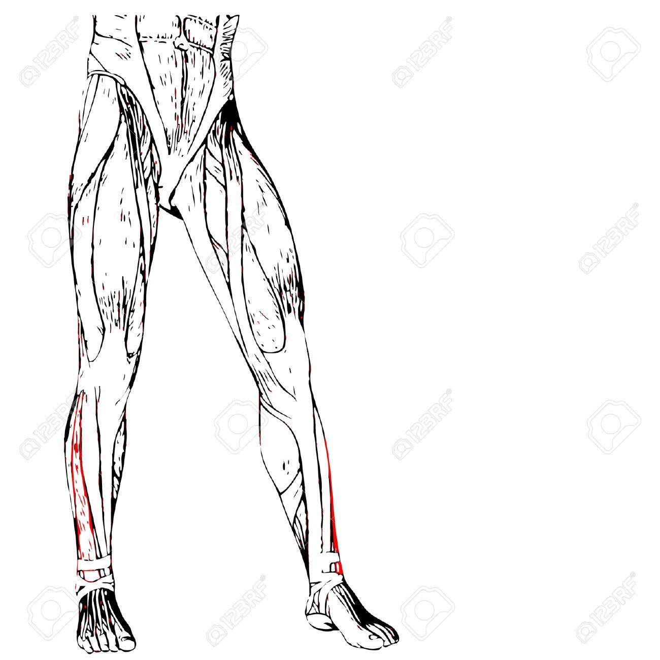 Leg Muscle Drawing At Getdrawings