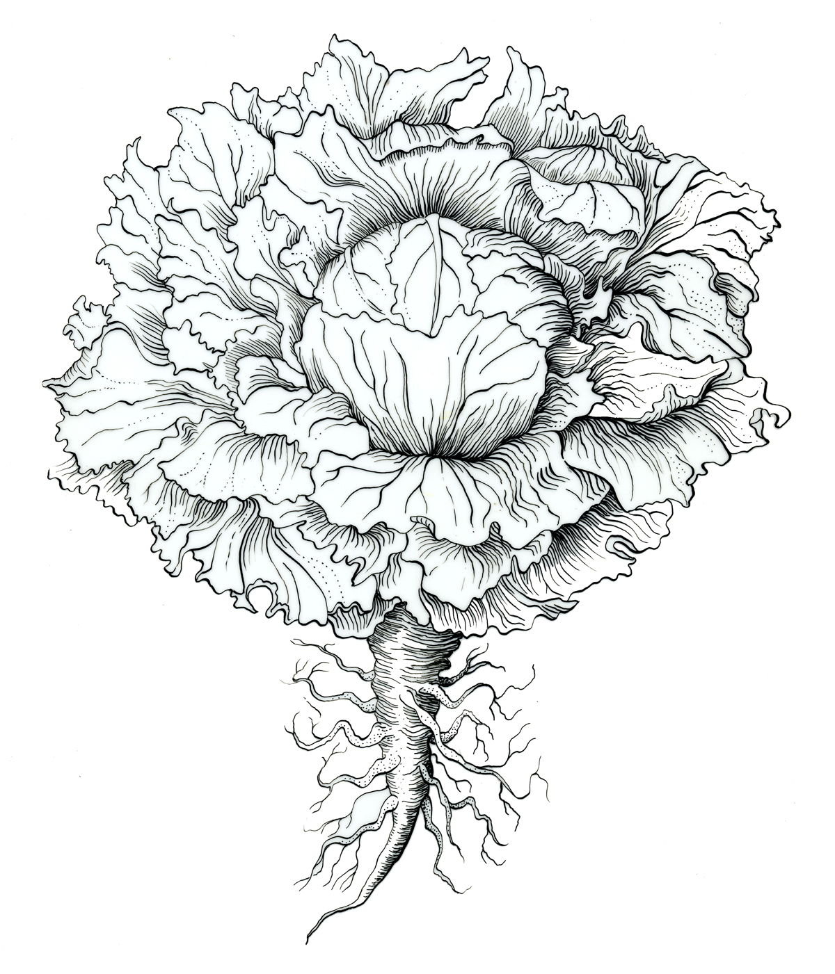 Lettuce Drawing At Getdrawings