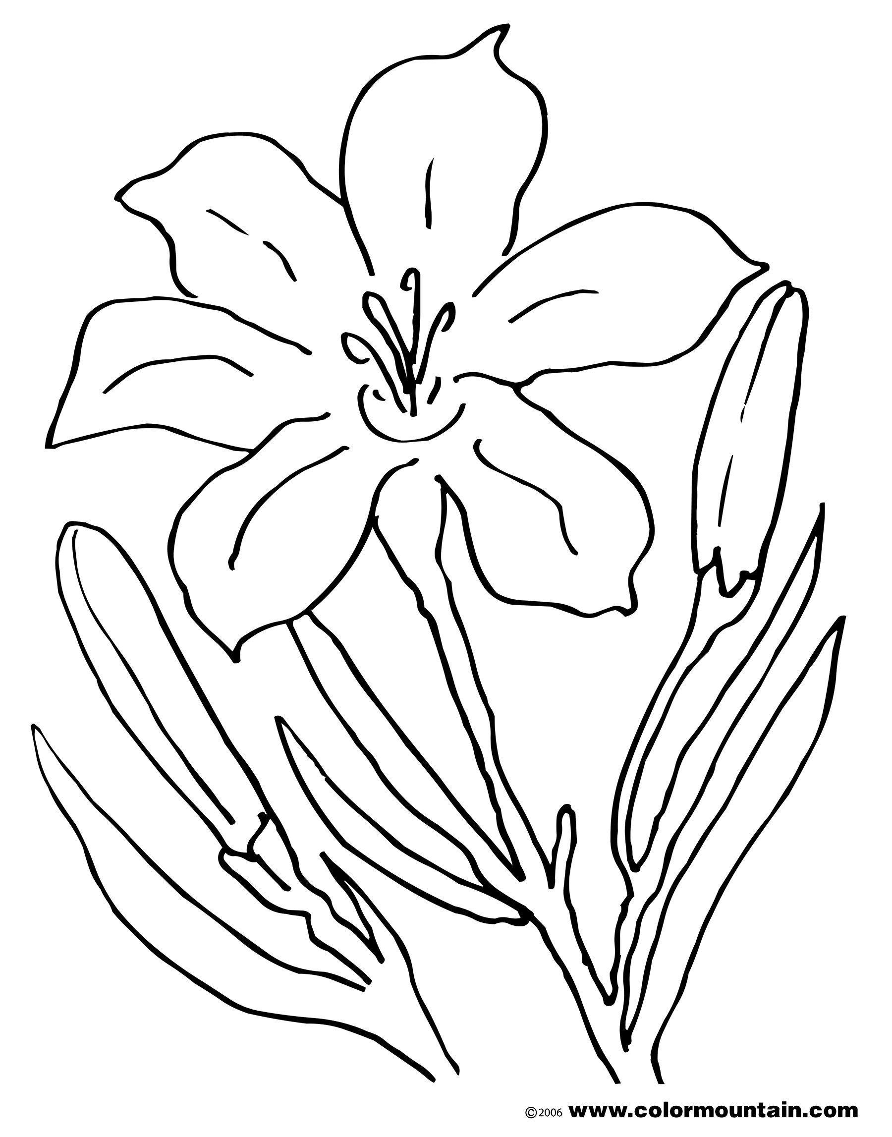 Lily Flower Drawing Pictures At Getdrawings