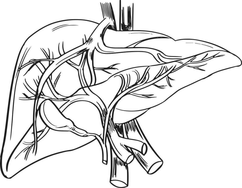 Liver Drawing At Getdrawings