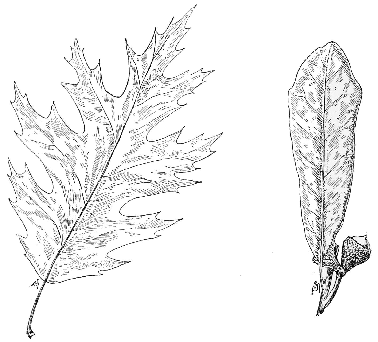 Oak Leaves Drawing At Getdrawings