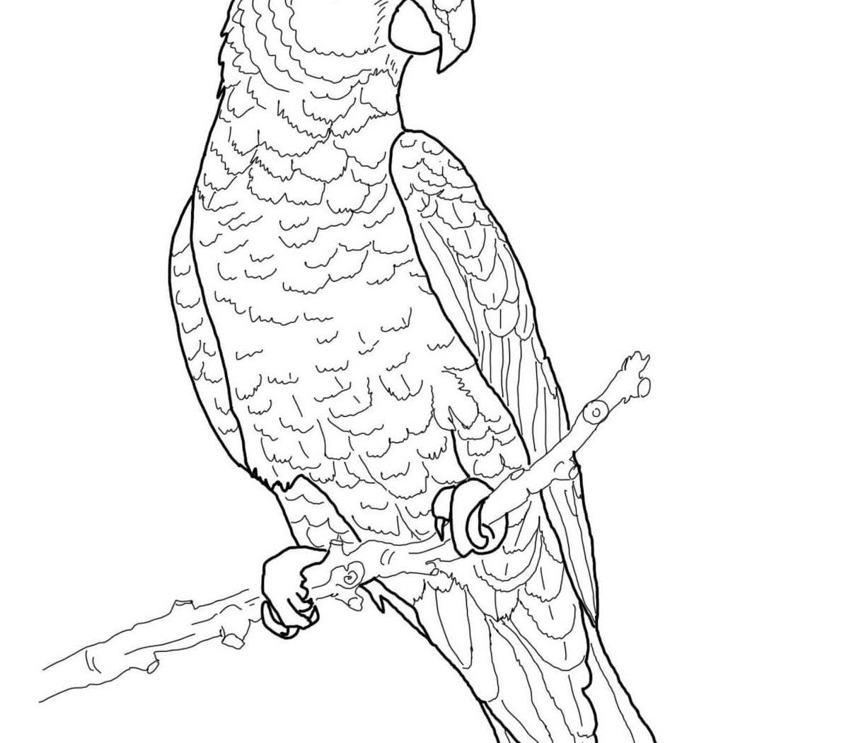 Parrot Drawing At Getdrawings