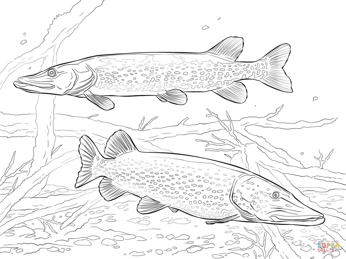 Pike Fish Drawing At Getdrawings