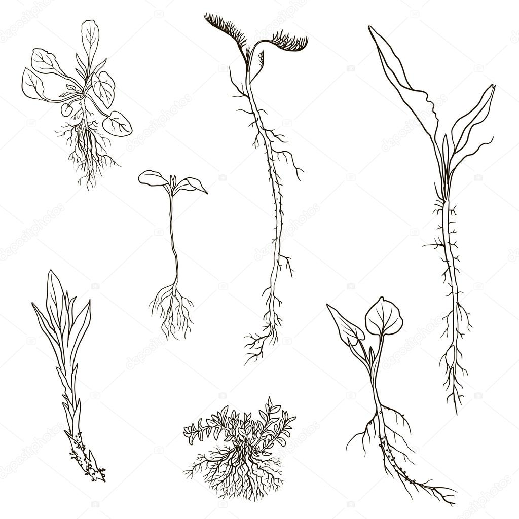 Plant Roots Drawing At Getdrawings
