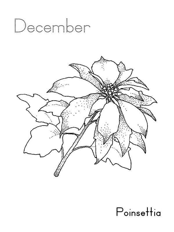 pointsettia drawing at getdrawings  free download