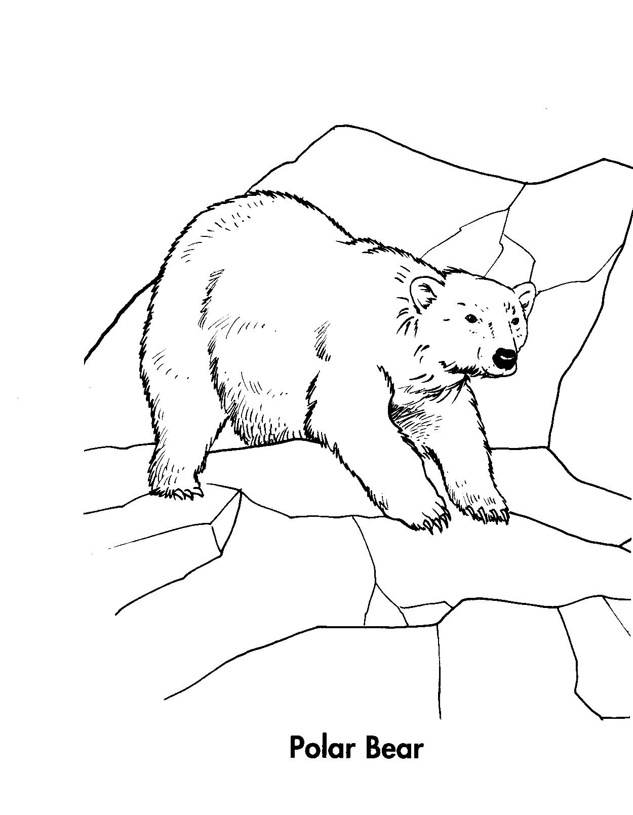 Polar Bear Head Drawing At Getdrawings