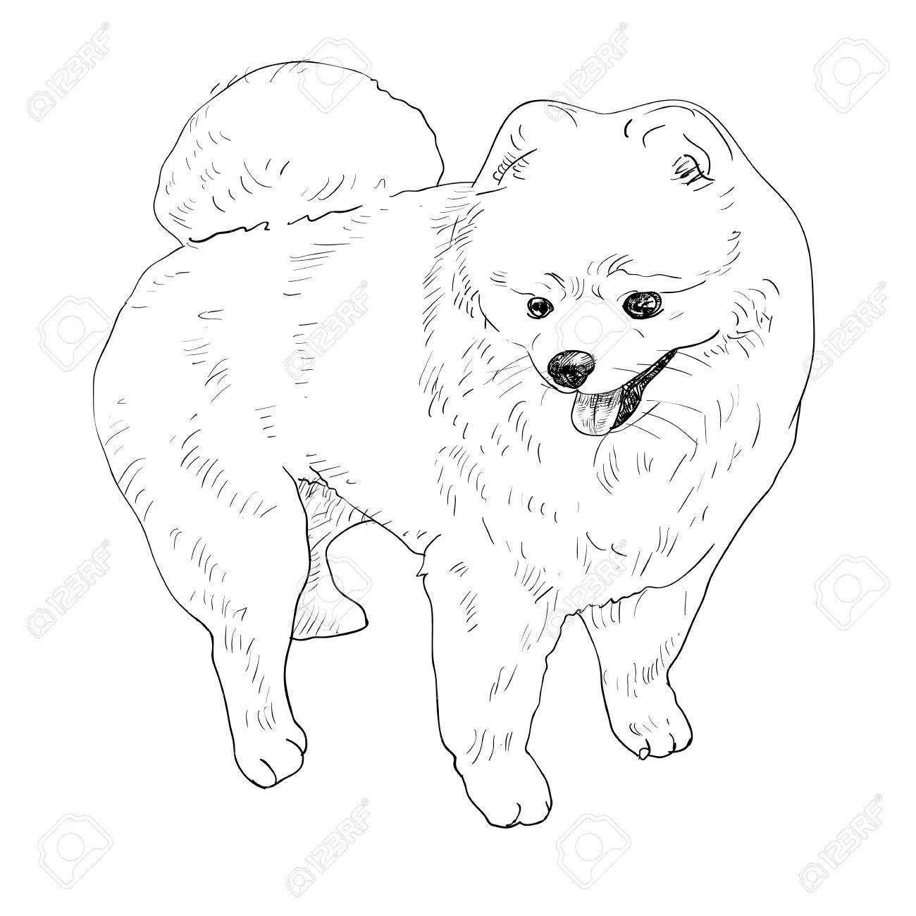 Pomeranian Drawing At Getdrawings