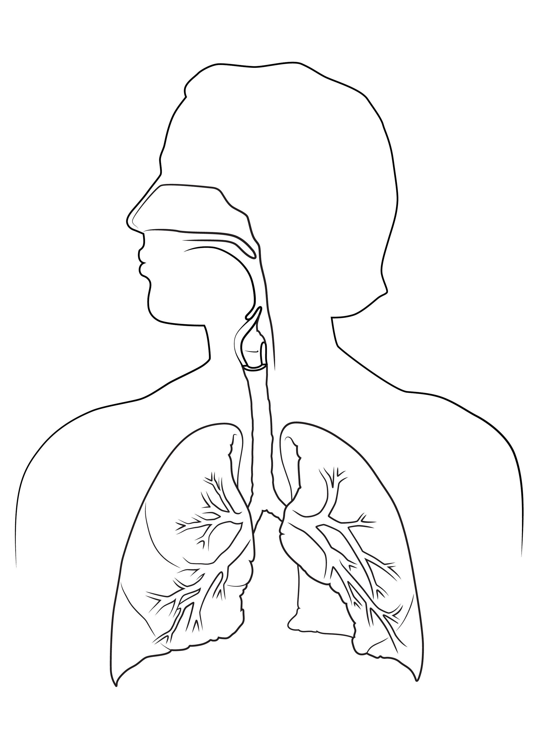 Respiratory System Drawing At Getdrawings