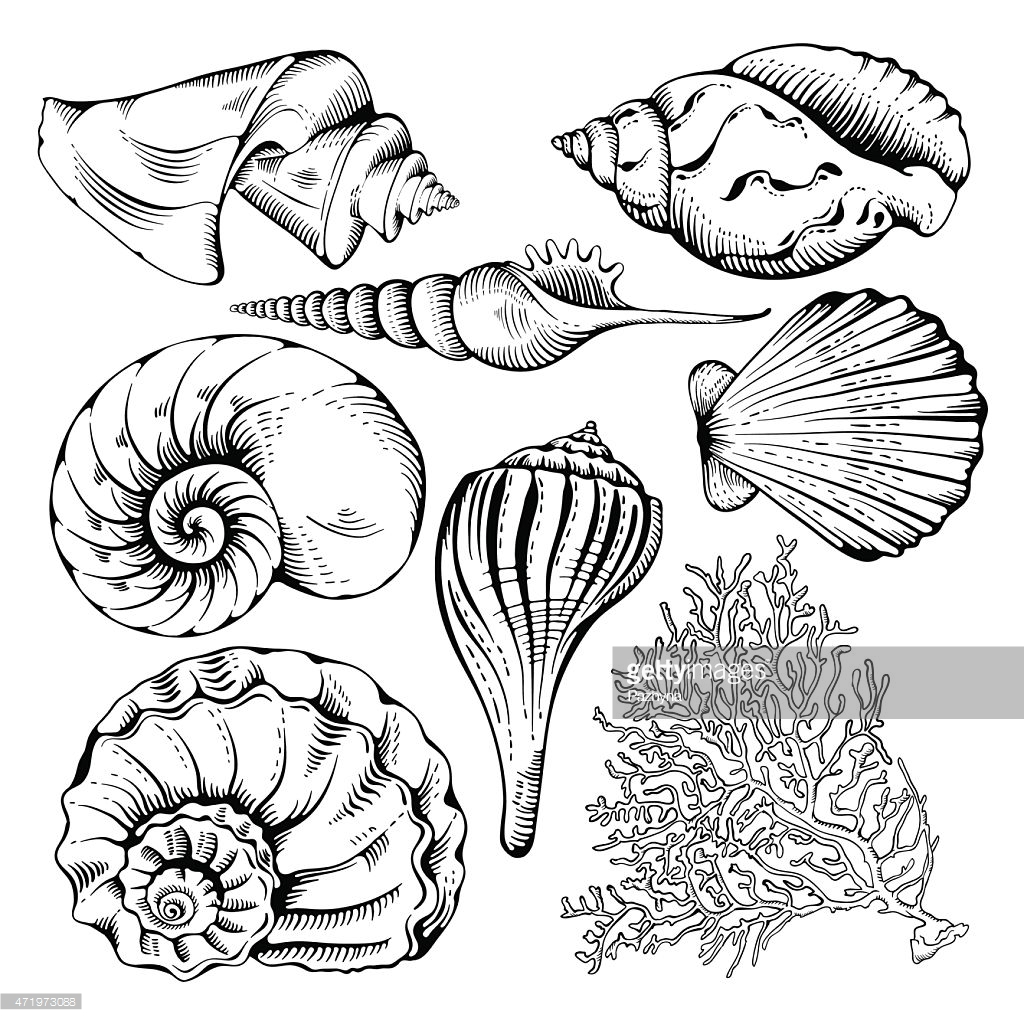 Seashell Line Drawing At Getdrawings