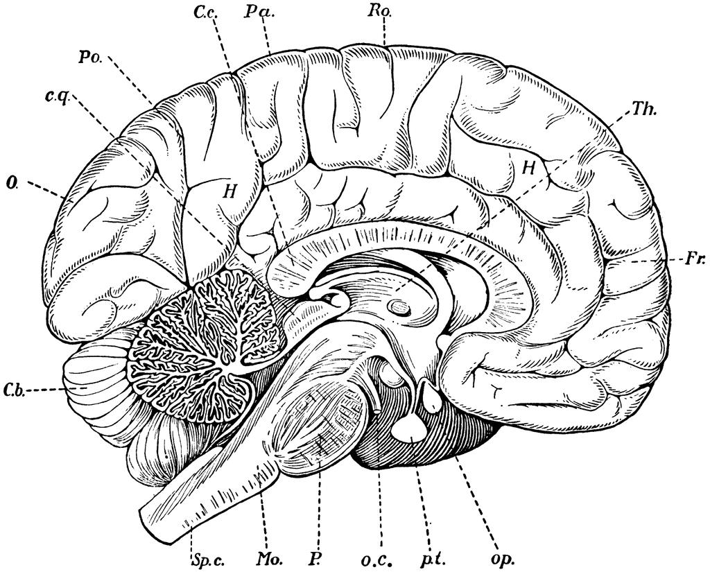 Simple Drawing Of Brain At Getdrawings