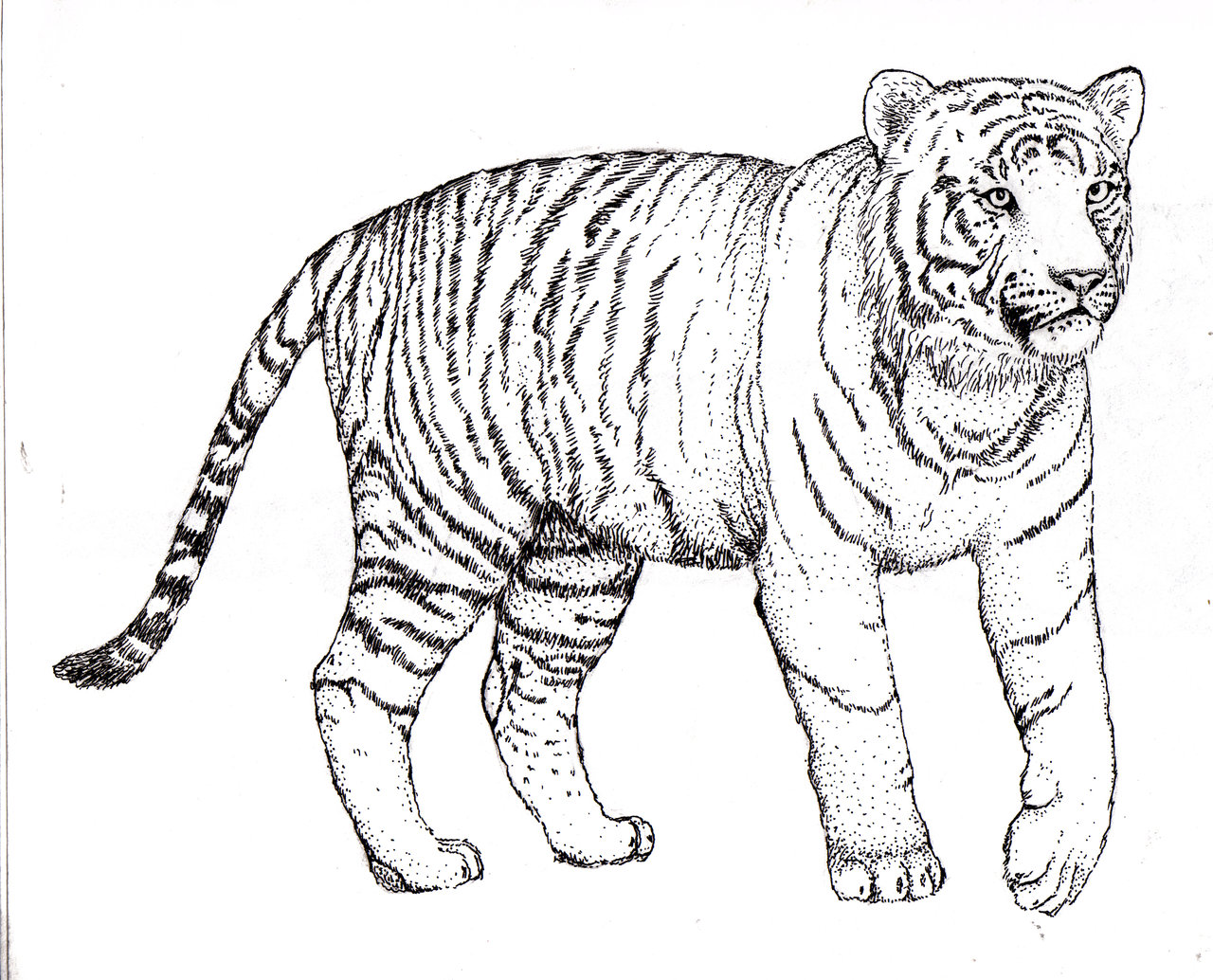 Tiger Line Drawing At Getdrawings