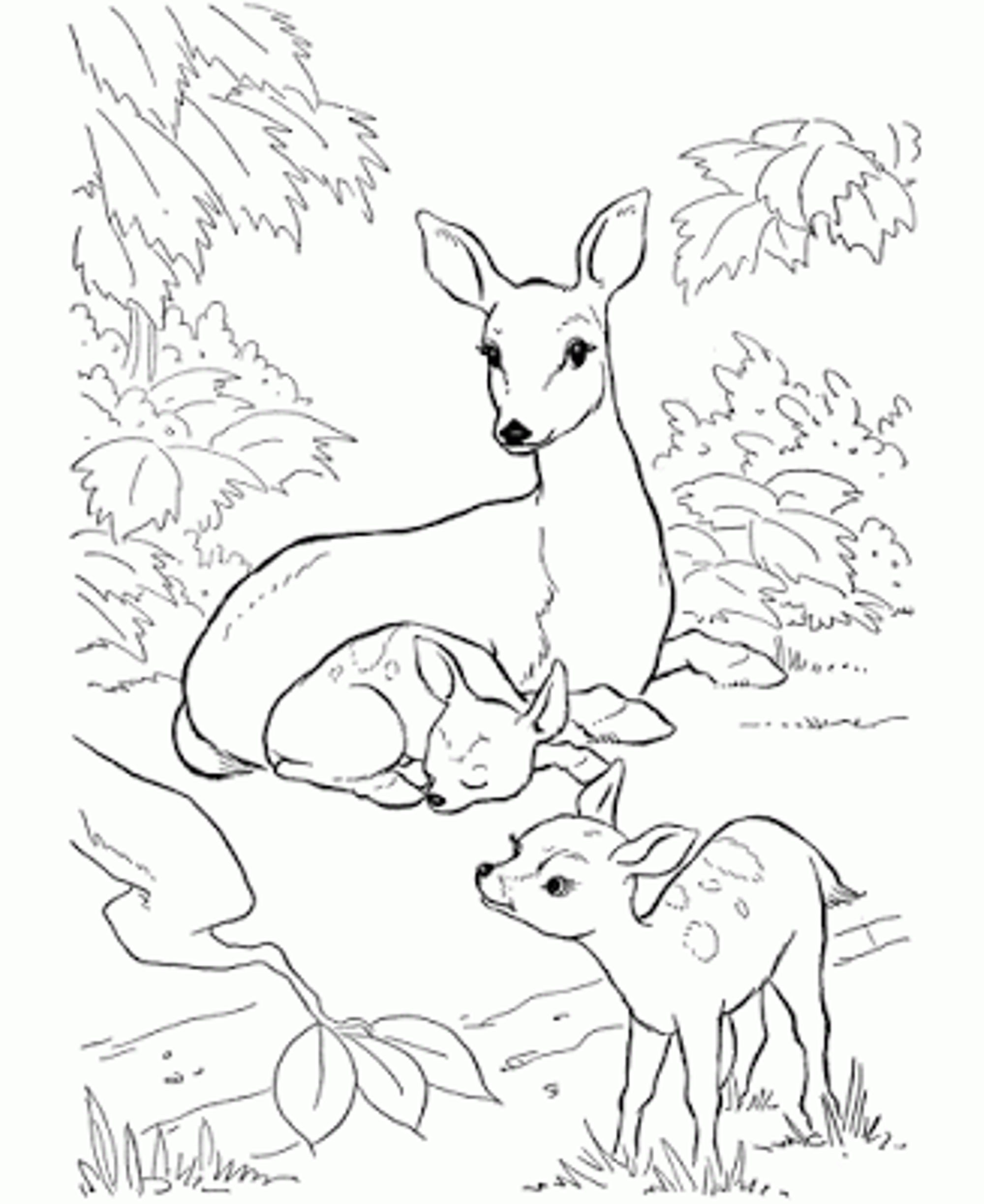 Whitetail Deer Drawing At Getdrawings