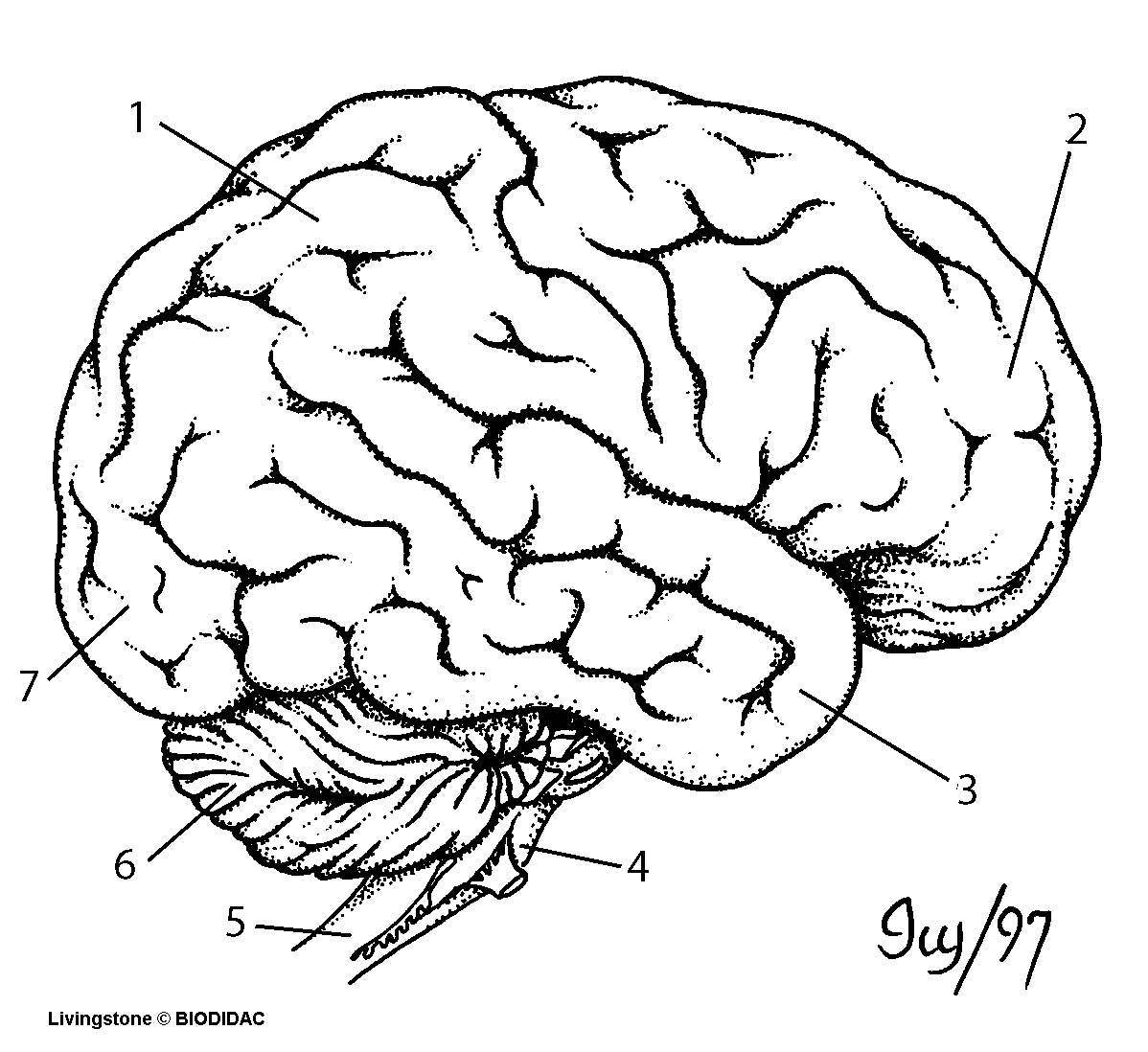 Brain Drawing With Labels At Getdrawings