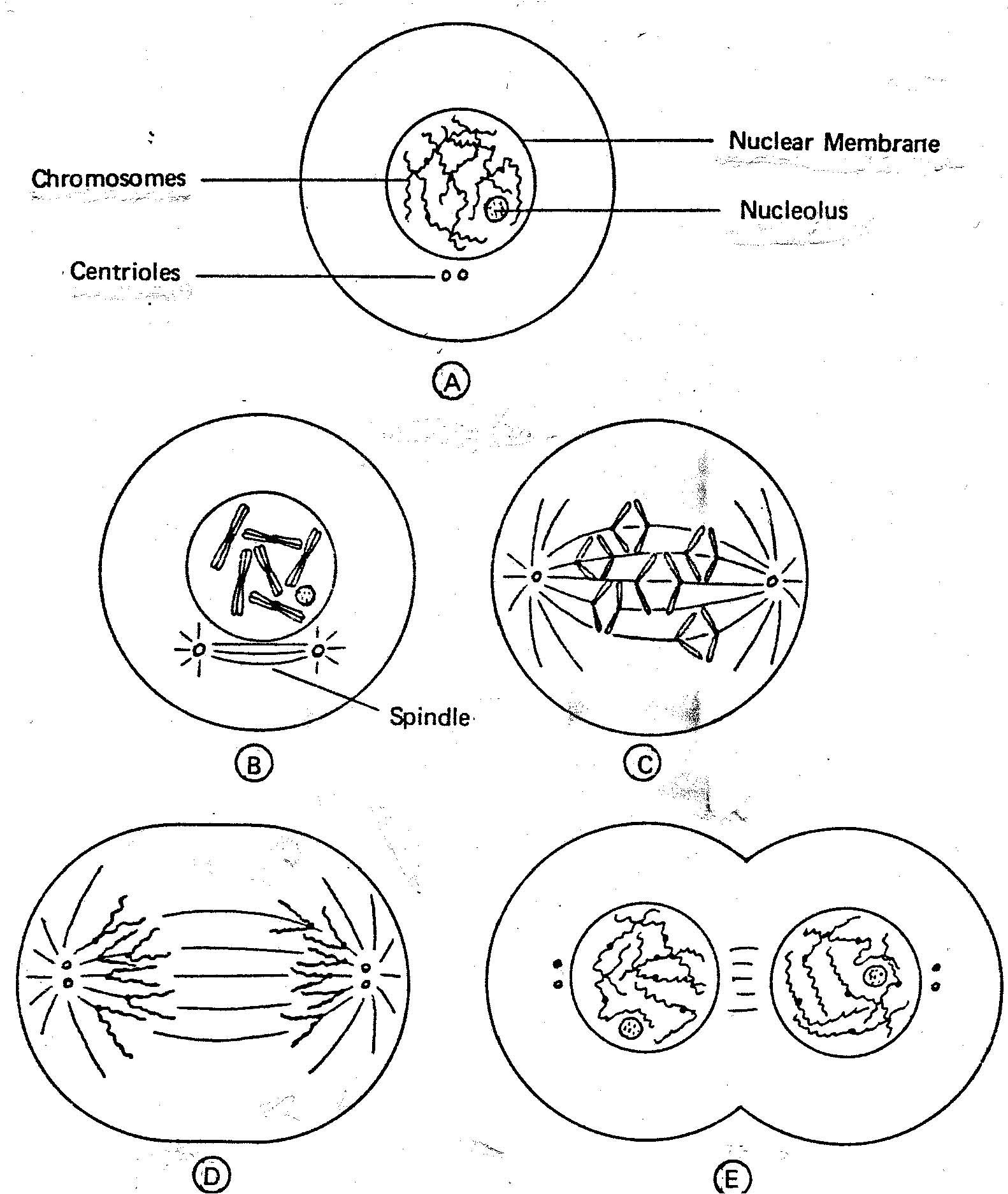 The Best Free Mitosis Drawing Images Download From 35