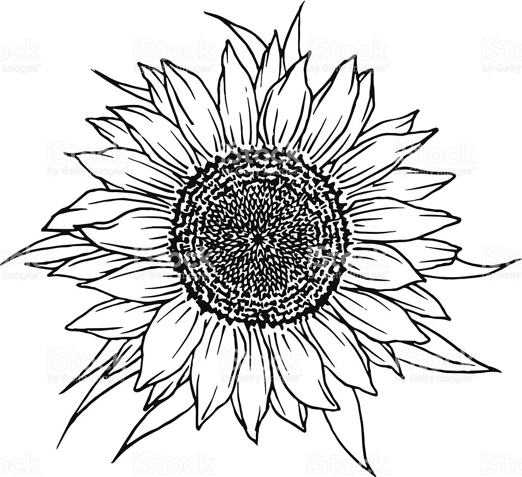 Sunflower Vector Free At Getdrawings