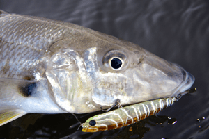 whiting surface lures stickbait