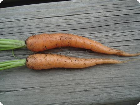 Garden Carrots August 23 2013 (2)