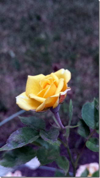 Yellow Rose in Garden August 2 2014
