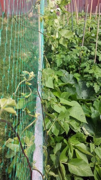 Garden Update July 16 2015 (7)