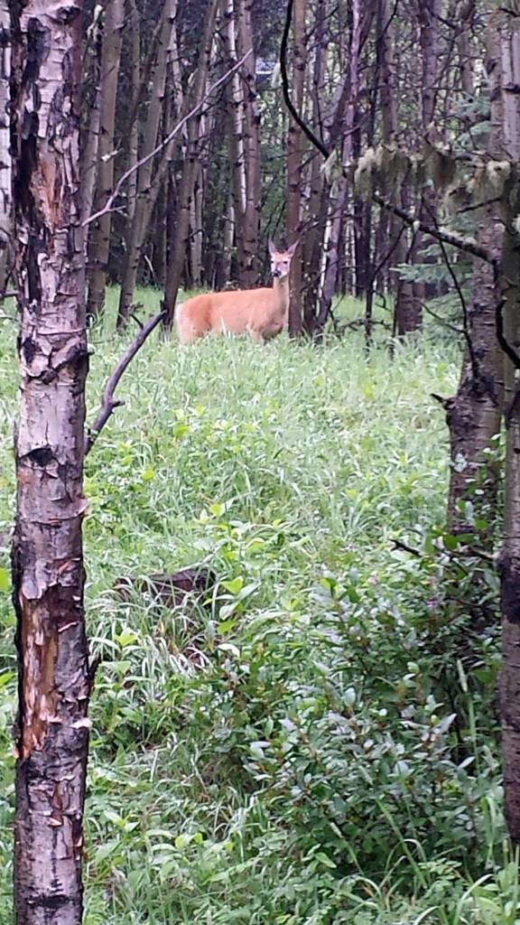 Troll Falls Deer