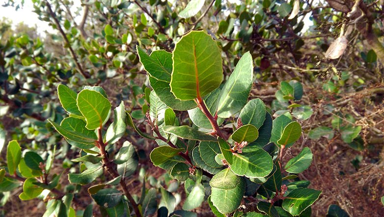 San Diego Hiking: Lemonadeberry Bush on Black Mountain Trail