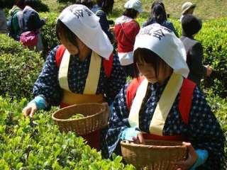 tea picking ritual at shukkei-en garden