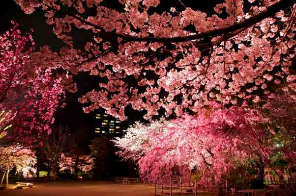 Illuminated yozakura cherry blossom at Shukkei-en Garden in Hiroshima