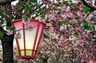 sakura at the japan mint in hirohsima