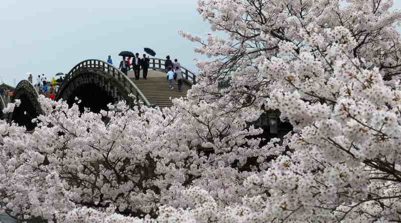 Kintai Bridge Sakura Rain 1