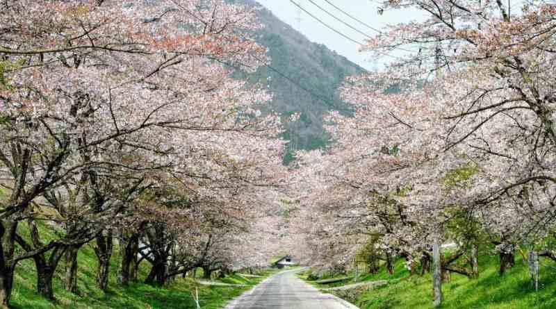 Nakano sakura tunnel in Ohnan
