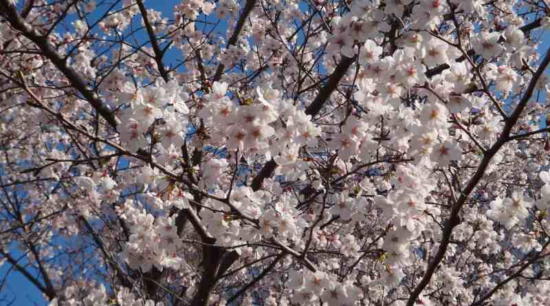State of the Cherry Blossoms in Hiroshima