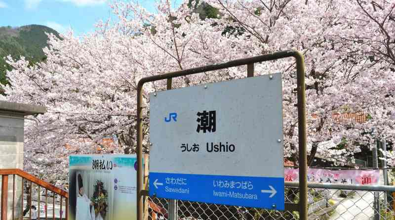 Sakura cherry blossoms at Ushio Station on the Sanko-sen Train Line