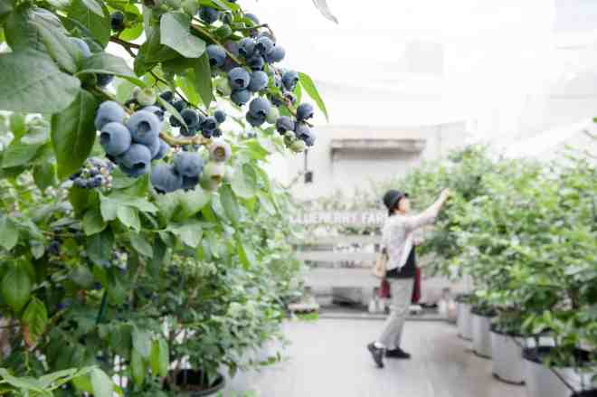 kamiyacho blueberry farm