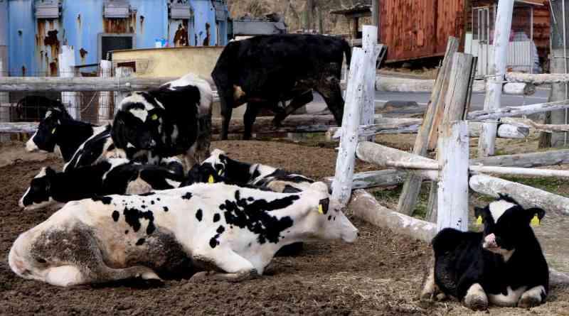 Organic hay fed dairy cows enjoy a break