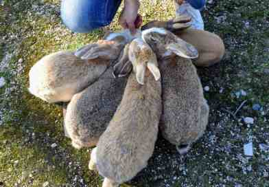 Where <i>did</i> the bunnies on Rabbit Island come from?