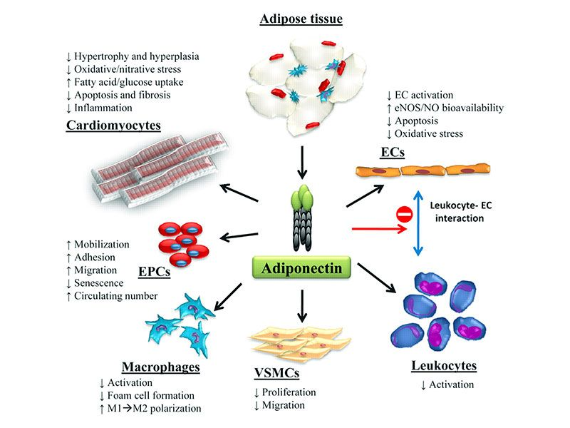 Adiponectins' fundamental role