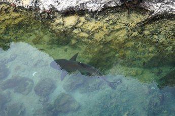 tinto shark sm