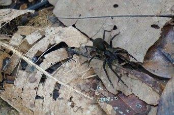 71 black spider sm