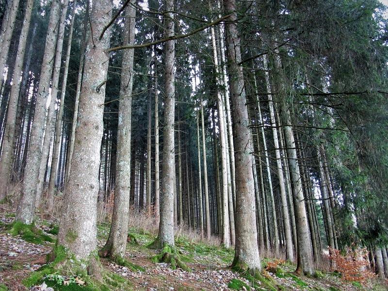 La fitta foresta del Titisee