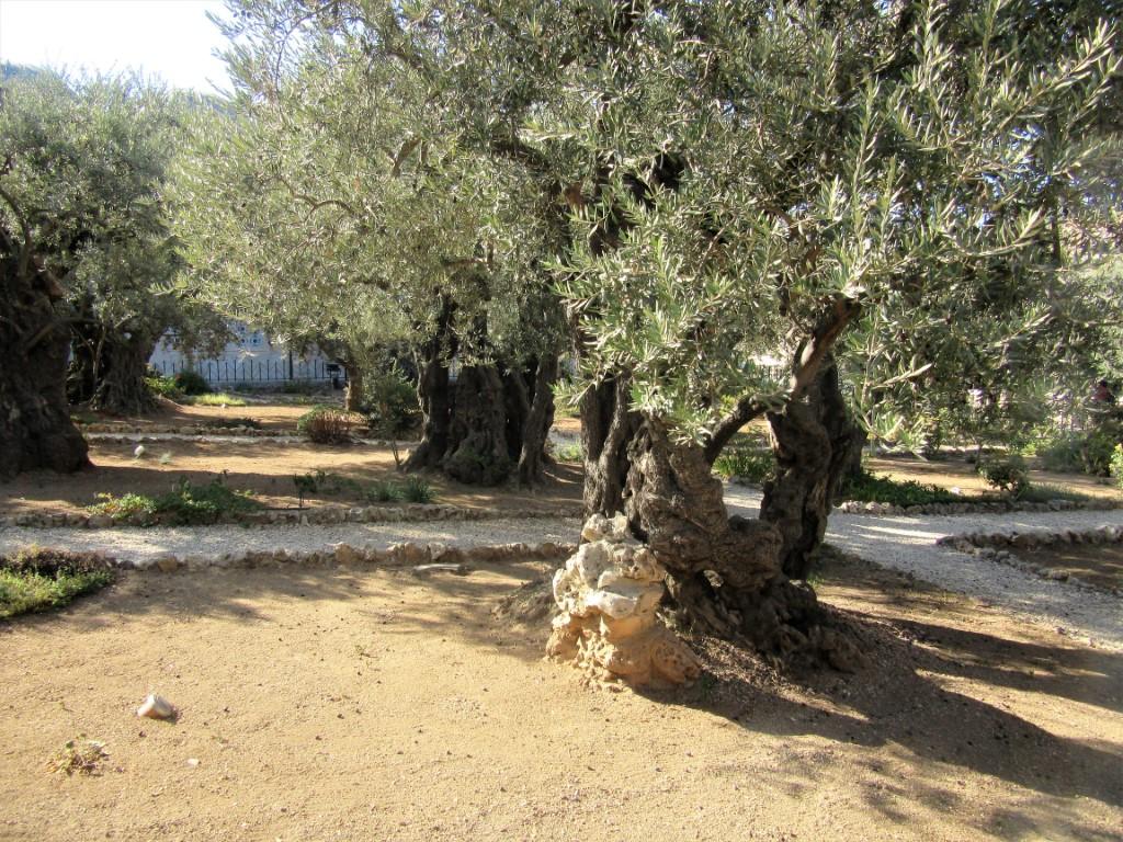 Monte-degli-Ulivi - Gerusalemme-ulivi-2.jpg