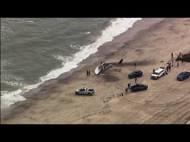 Huge Dead Whale Washes Ashore In Massachusetts