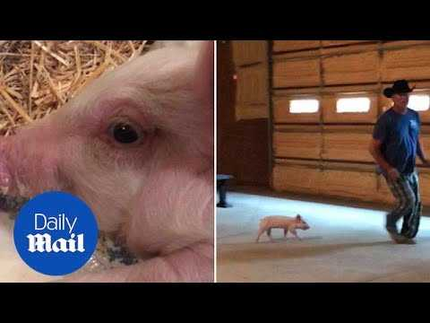 Speedy recovery: Motorist helps injured piglet - Daily Mail