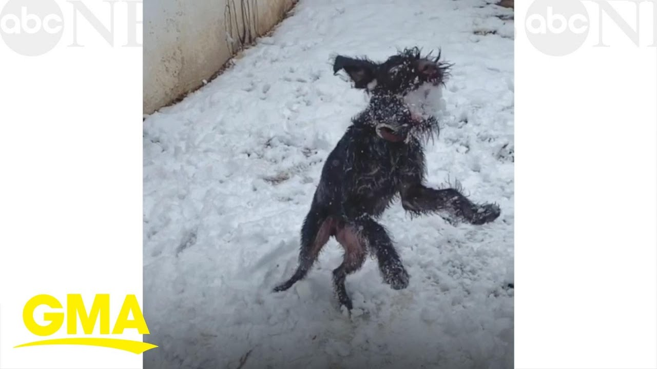This dog makes snowball catch look easy l GMA Digital